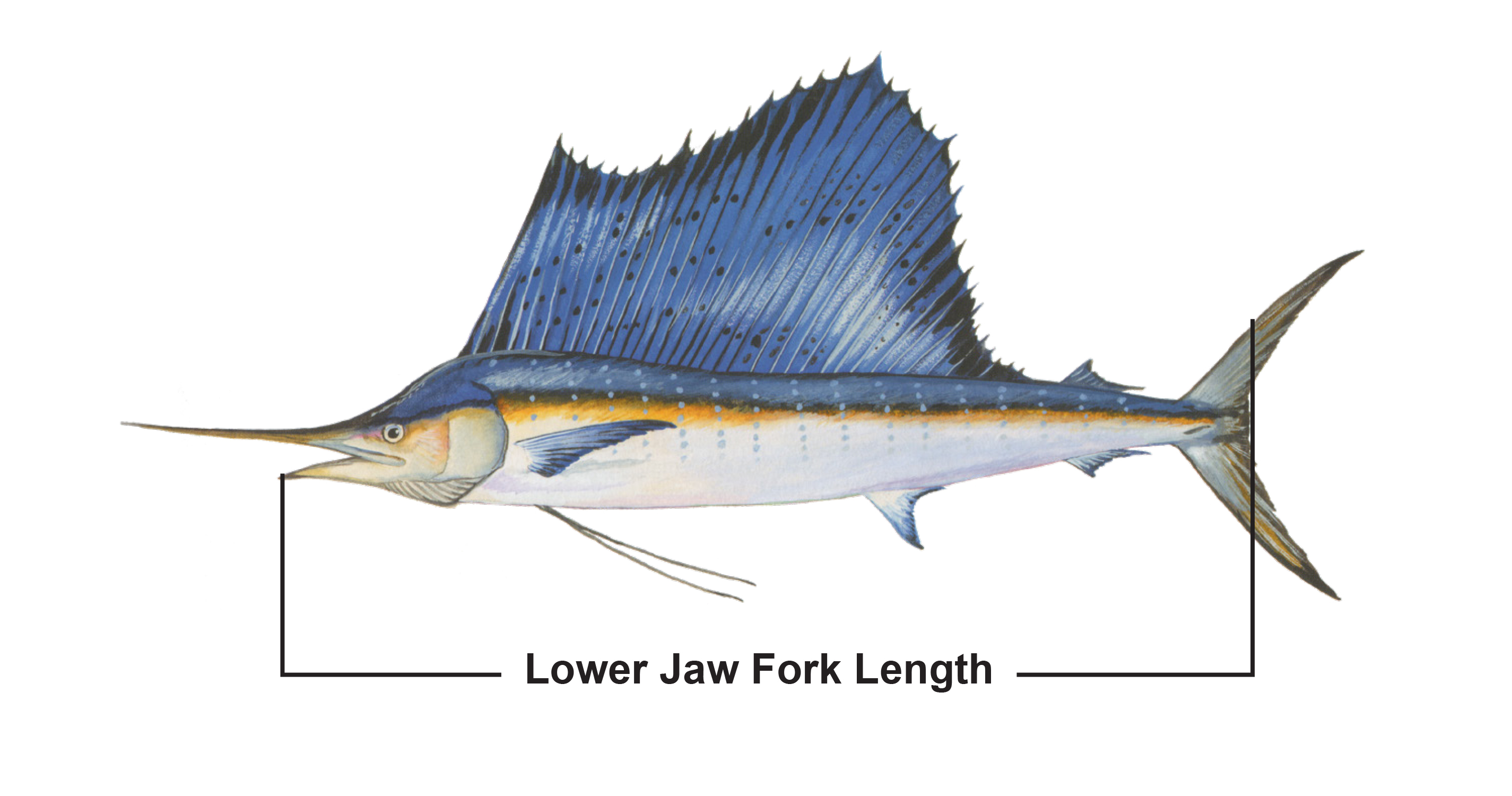 Lower jaw fork length